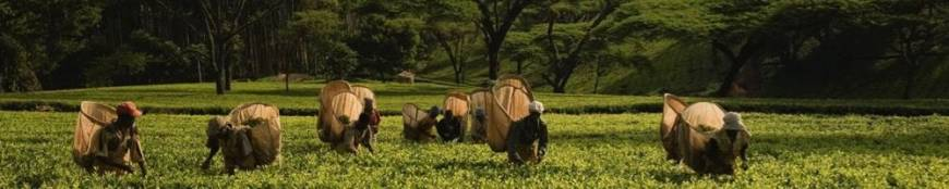 Té de Malawi